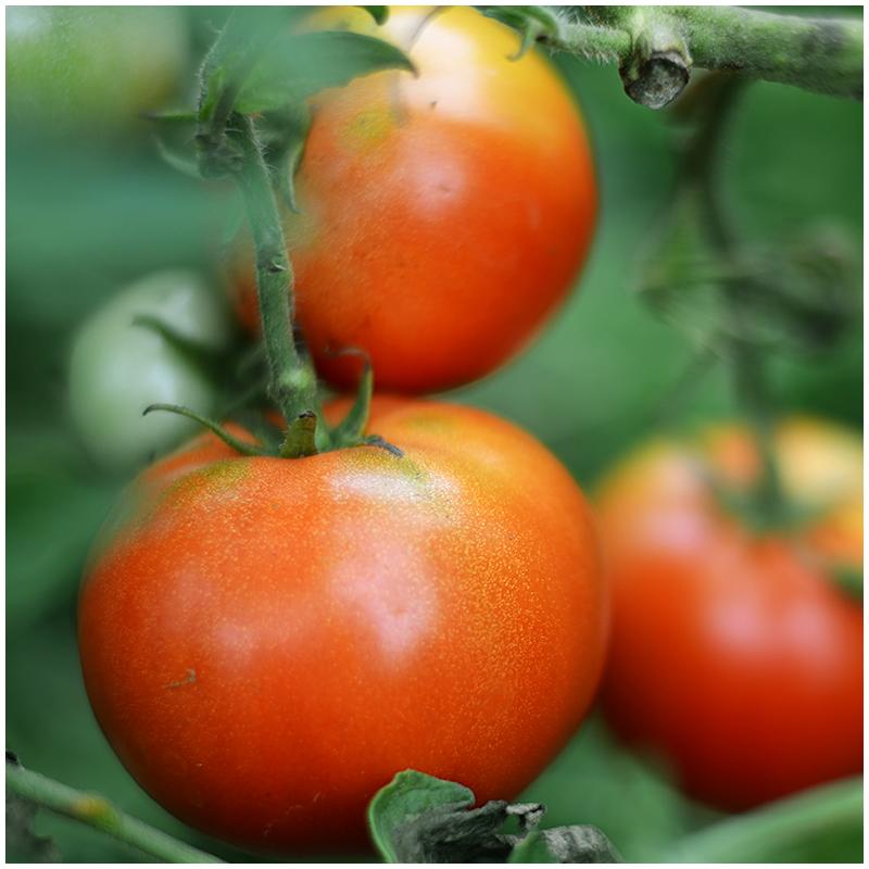 domača zelenjava - paradižnik