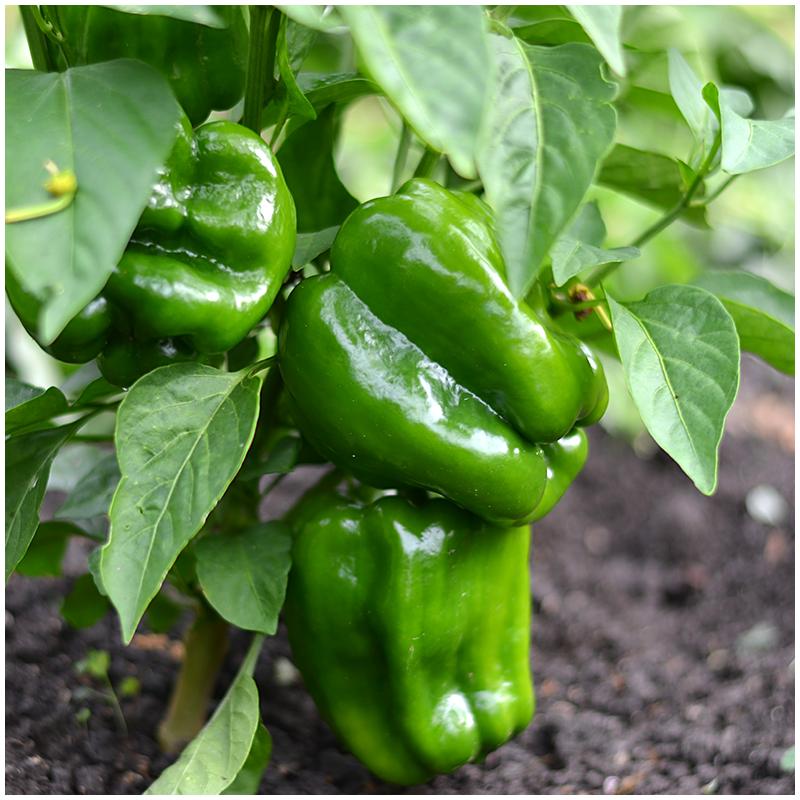 domača zelenjava - paprika